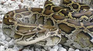 Radio Tracking Helps Hunt Burmese Pythons