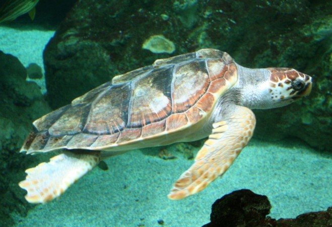 High Temperatures Linked to Changes in Loggerhead Turtle Nesting
