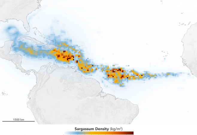 Satellites Find Biggest Seaweed Bloom in the World