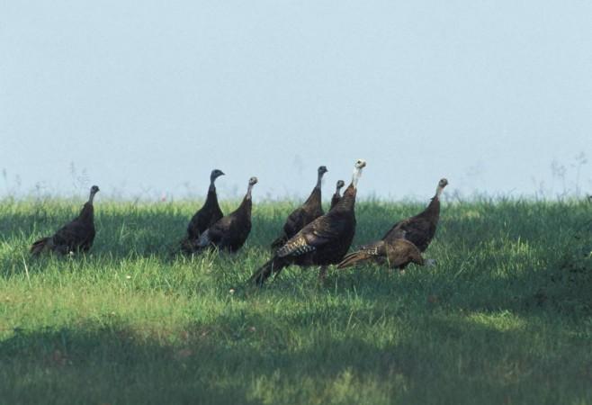 GPS Backpacks Could Help Reverse Wild Turkey Decline in North America