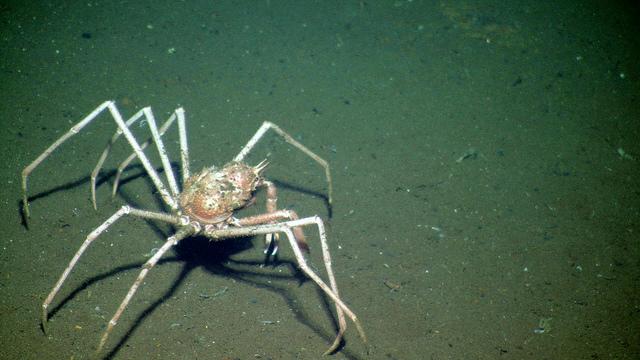 NEPTUNE SpiderCrab